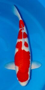 Kansuke Kohaku 58 cm Female Sansai